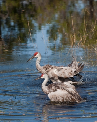 photo of Sandhill Cranes in Lake