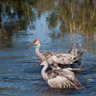 photo of Sandhill Cranes in Lake