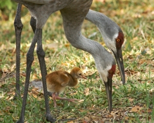 photo of Sandhills with Chick