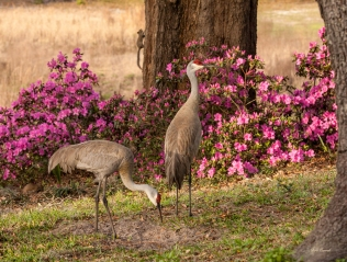 photo of Sandhill Cranes and Azaleas