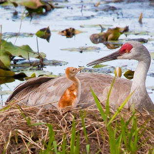 photo of Sandhill and Chick in Nest
