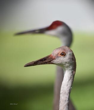 204-Juvenile-Sandhill-Crane
