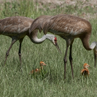 215-Sanhill-Family-in-Grass