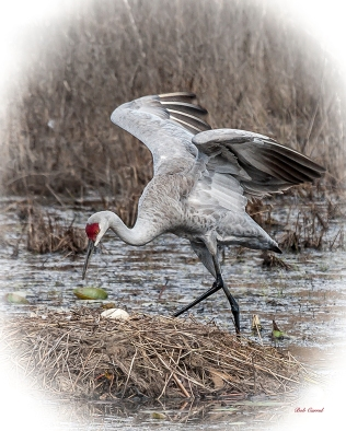 photo of Sandhill Crane with Egg