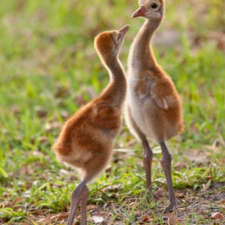 photo of Agressive Sandhill Chicks