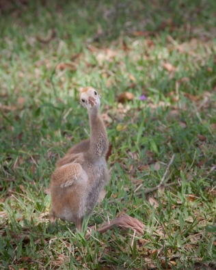 photo of Sandhill Crane Chick sitting