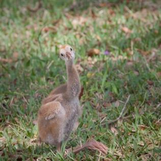 photo of Sandhill Crane Chick sitting