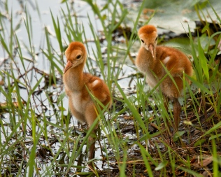 photo of Sandhill Chicks by Lake