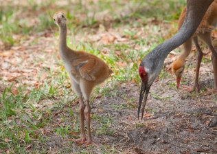photo of Sandhill Crane and Chicks
