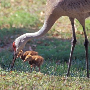photo of Sandhill Crane with chicks
