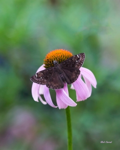 photo of Butterfly on Cone Flower, Lake Como, FL