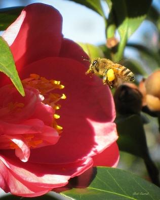 photo of Bee in Camellia, Little Lake Como, FL
