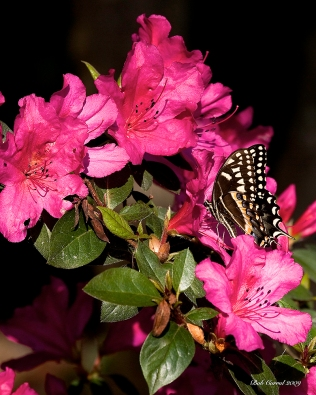 photo of Butterfly on Azaleas taken at Lake Como, Florida