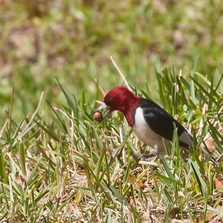 photo of Red Headed Woodpecker taken at Lake Como, FL
