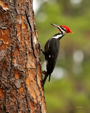 photo of Pileated Woodpecker taken in Lake Como, Florida
