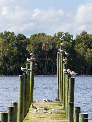 photo of Gulls on Pilings, Georgetown, FL