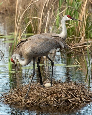 photo of Sandhill Cranes sharing the egg sitting duty