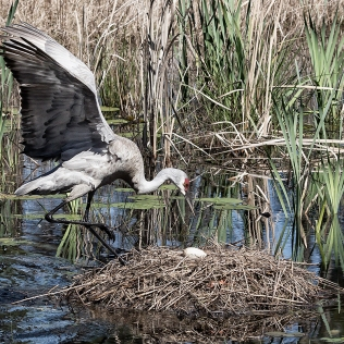 photo of Sandhill Crane Returning to the Nest