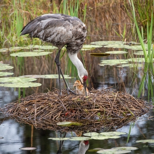 photo of one day old Sandhill Crane Chick in Nest with parent