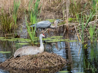photo of Nesting Sandhill Crane and Great Blue Heron together in Pond