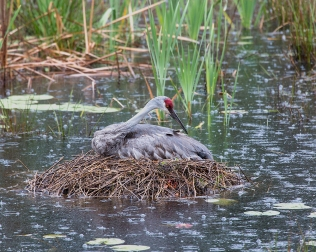 Photo of Sandhill Crane sitting on newly hatched chick in the rain on St Patricks Day 2014