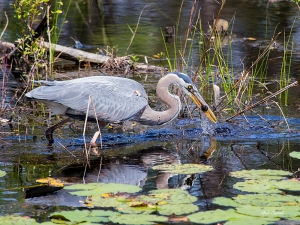 photo of Great Blue Heron catching his lunch