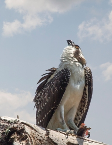 photo of Osprey with Fish on Branch