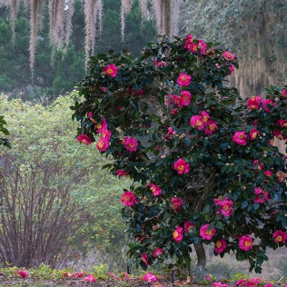photo of Camelia in Bloom