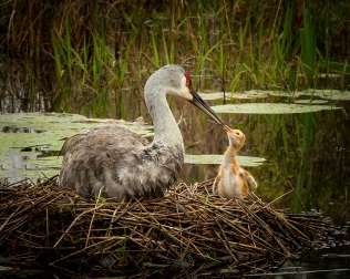 photo of Sandhill Crane and Chick After the Rain
