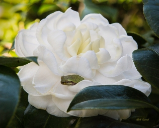 # 391 Frog in Camelia