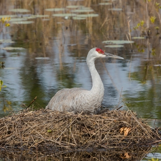photo of Sandhill Crane on Nest