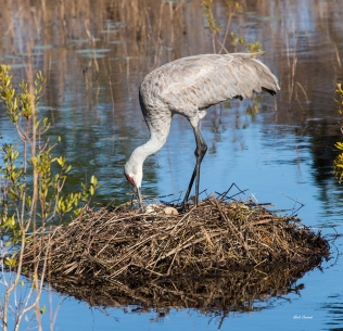 photo of Sandhill Crane on Nest with two eggs