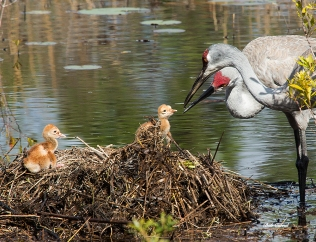 photo of Sandhill Crane parents looking at chicks in Nest