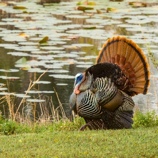 photo of Tom Turkey on display by lake