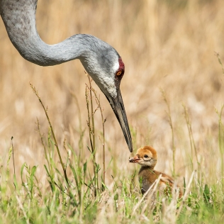 photo of Sandhill Crane feeding chick