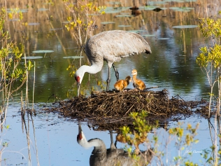 photo of Sandhill Crane with two chicks in nest