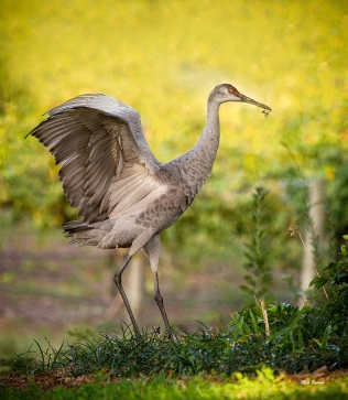 photo of Sandhill Crane