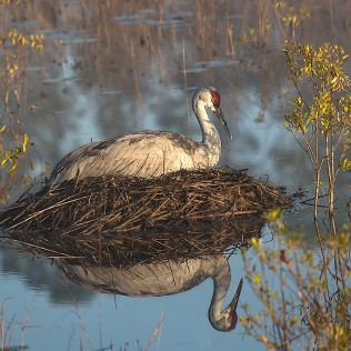 photo of Sandhill Crane sitting on nest in morning fog.