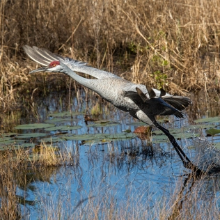photo of Sandhill Crane taking off