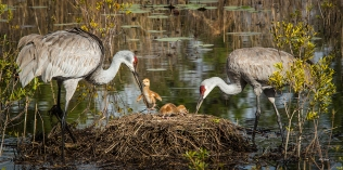 photo of Sandhill Crane family with Chicks in Nest