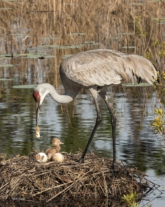 photo of Sandhill with Chick, Egg & Cleanup