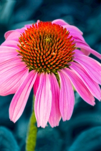 photo, close up of Cone Flower