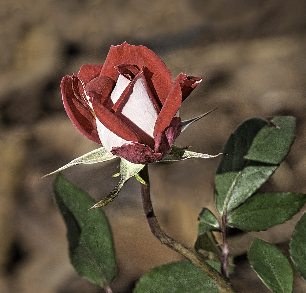photo of Double Delight Rose