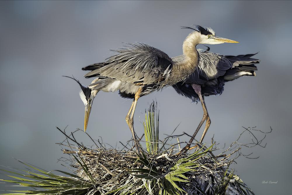 498 Nesting Great Blues copy