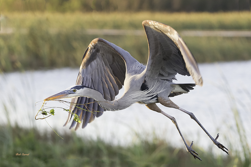 499 Great Blue heron with Vine copy